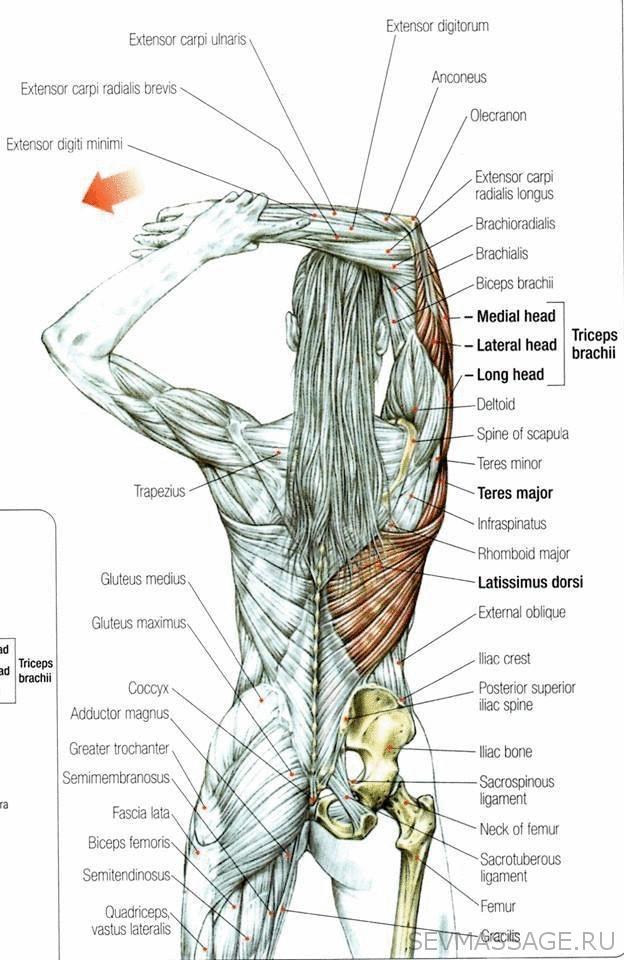 7 сегментов мышечного панциря или что мы не знаем о мышечных спазмах